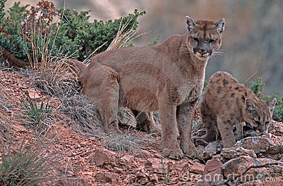 Cougar and kit