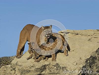 Cougar and kits