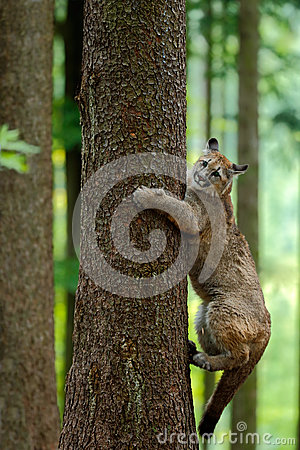 Free Cougar, Puma Concolor, Climbing On The Tree, In The Forest Nature Habitat, Portrait Danger Animal With Stone, USA Stock Photography - 70954552