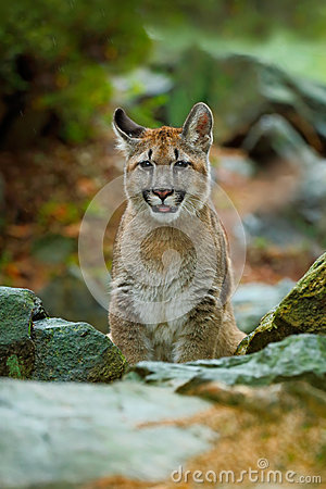 Free Cougar, Puma Concolor, Sitting In The Rock Nature Habitat, Portrait Danger Animal With Stone, Stock Images - 70954534
