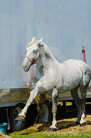 Counting Percheron Draft Horse