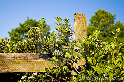 Country fence post and vines