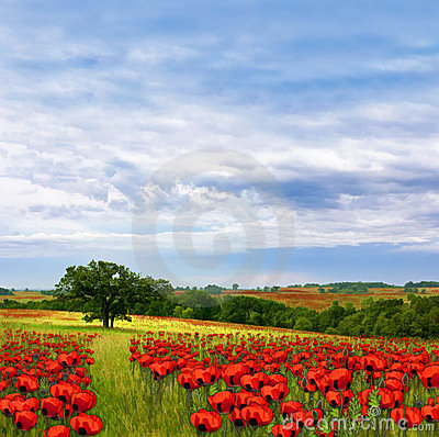 Country Poppy Meadows