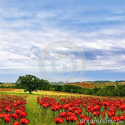 Country Poppy Meadows