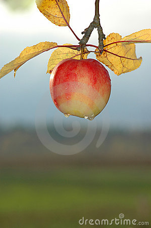 Countryside apple