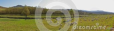 Countryside with sheep flock - panorama