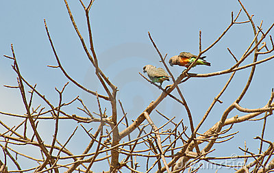 A couple of African orange-bellied parrots