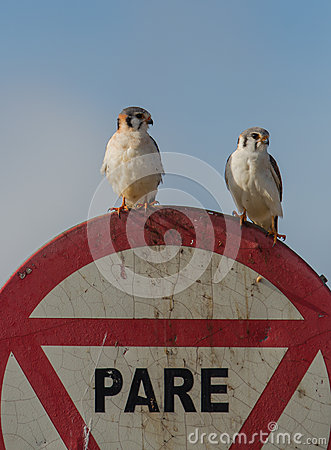 A couple of the American Kestrel