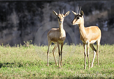 Couple antelopes