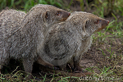 Couple of Banded Mongoose