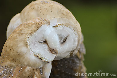 couple of Barn Owls or Common Barn Owls