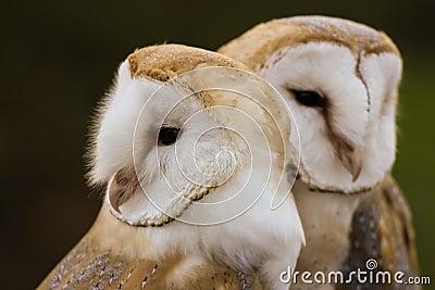 Couple of Barn Owls or Common Barn Owls