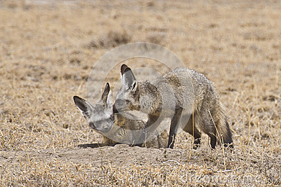 Couple of Bat-eared foxes