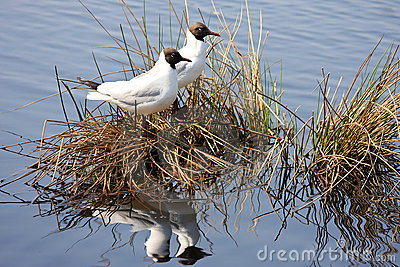 A couple of black-headed gulls