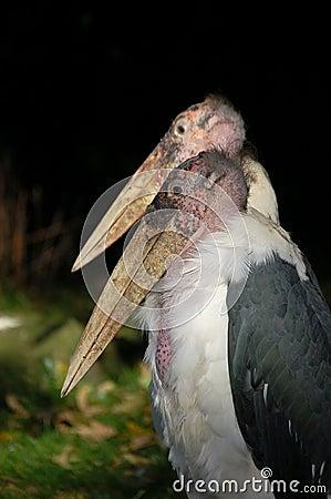 Couple bold marabou birds