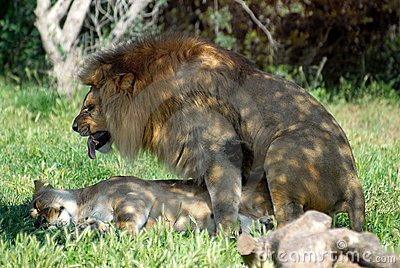 A couple of breeding lions