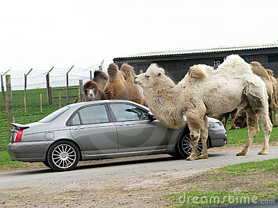 Couple of camel with car