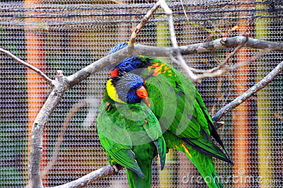 Couple Courting Lorikeets