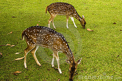 A couple of deers on the grass