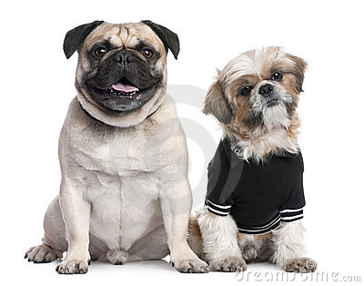 Couple of dogs : Shih Tzu dressed-up and a pug