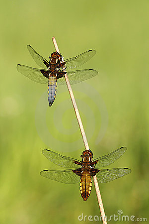 Couple of dragonflies