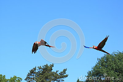 Couple of flying scarlet macaws
