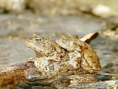 Couple of frogs in the water in spring