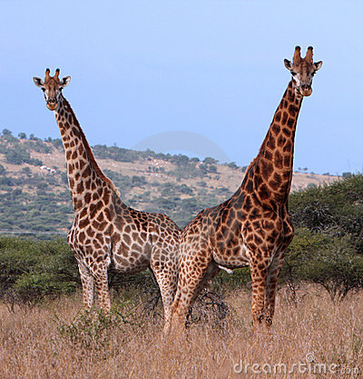 Couple of giraffes