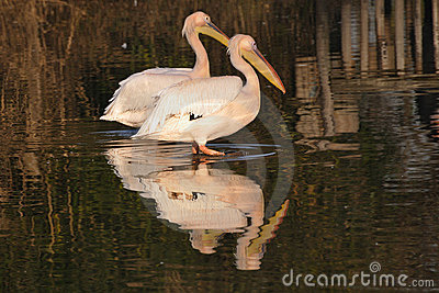 Couple of Great White Pelicans,