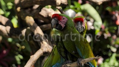 Couple of green red macaw parrots on a branch in a reserve on the island of Bali. Couple of green Green red macaw parrots on a branch in a reserve on the island stock video