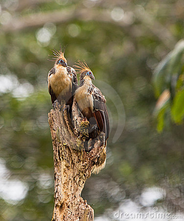 A couple of the Hoatzin