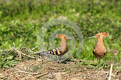Couple of hoopoes