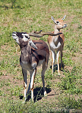 A couple of Indian Black Buck