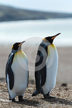 Couple of the KIng penguins.
