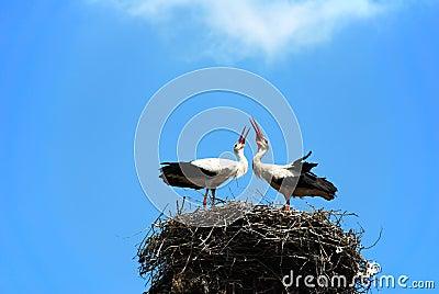 Couple of loving white storks
