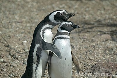 Couple of Magellanic Penguins