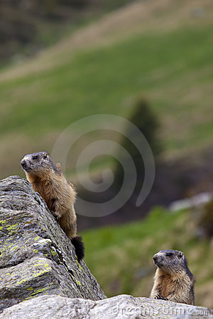 Couple of marmots (Marmota marmota)