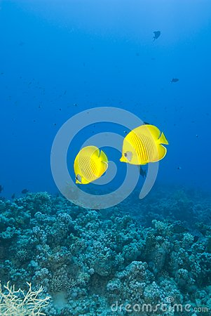 A couple of masked Butterflyfish, blue background.