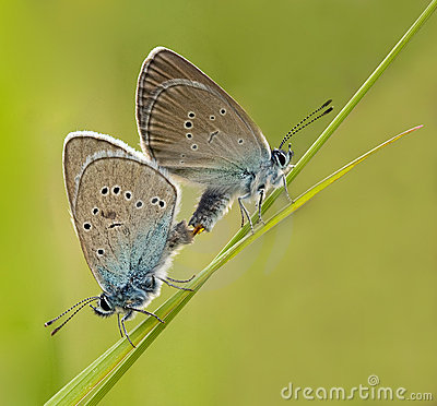 Couple Mazarine Blue Butterfly making love with