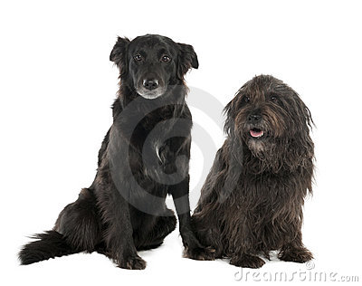 Couple of a Mixed-Breed Dog with a Border Collie a
