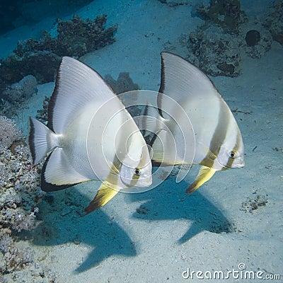 Free Couple Of Batfish Stock Images - 7726054