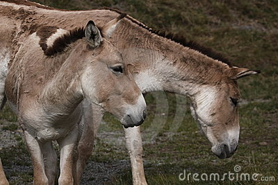 Couple of onagers