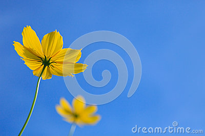 Couple oyellow flower with clear blue sky