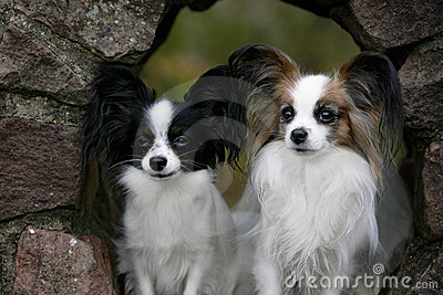 A couple of papillon