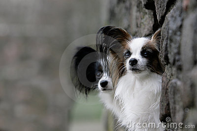 Couple of papillon dogs