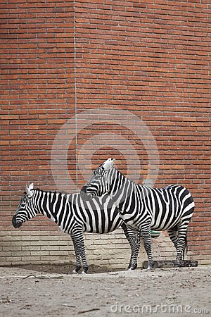 Couple of plains zebras