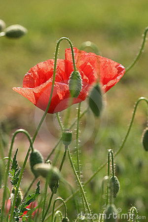 Couple of poppies