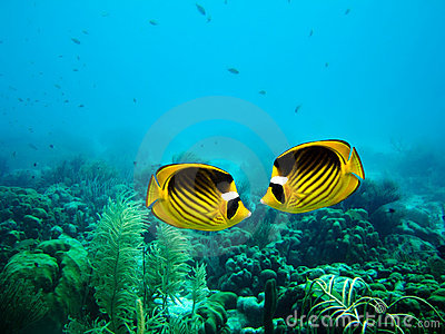 Couple of Raccoon Butterfly fish
