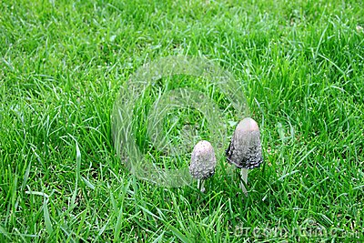 Couple small mushrooms on the green bright grass