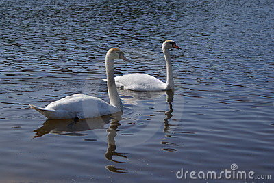 Couple of swan